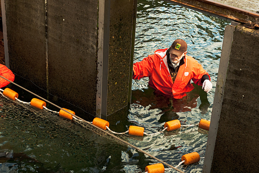 Oregon Department of Fish and Wildlife personnel corralled the remaining coho salmon to finish off the spawning season. Fish exit the rivers through fish ladders, which lead to holding tanks, where they are held between one to three months before they are spawned.