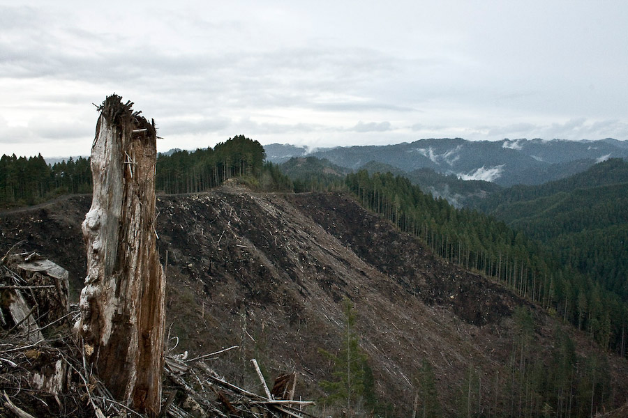 Post-cut, logging companies must raze the ground with fire and herbicides to control pests and undergrowth that might inhibit new tree growth.