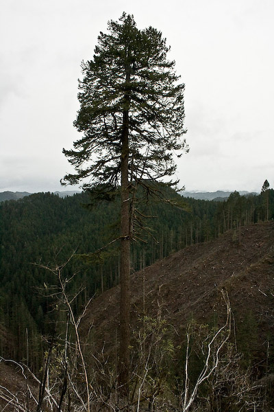 "In keeping with state laws intended to protect the endangered species that inhabit Oregon's forests, clear cutters must leave ""habitat trees"" on every acre of land."