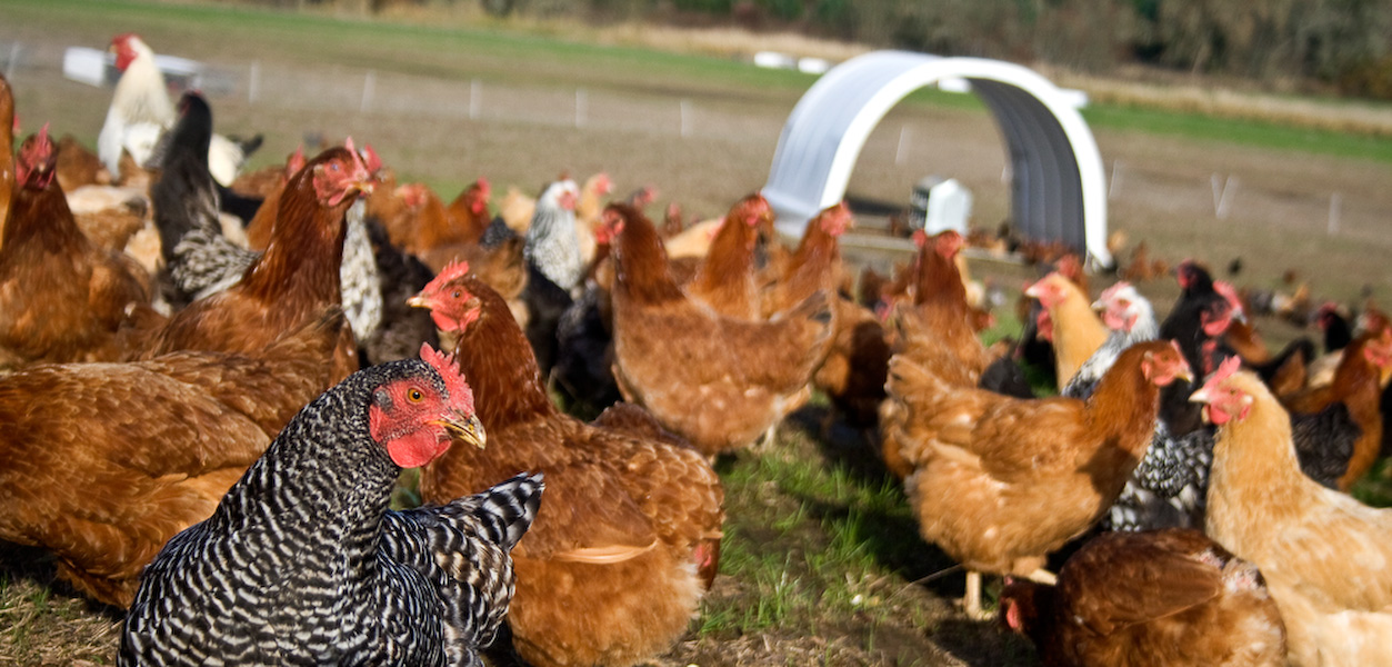 In the coming year Tyler and Alicia hope to not only double their poultry and egg production but also move Afton Field even closer to the peak of sustainable farming practice. For now, it's been a good fall.