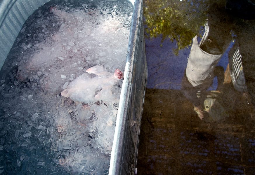 Broiler chickens chill in an ice bath.
