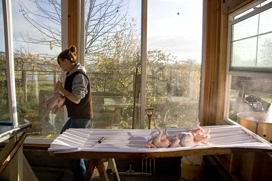 After plucking chickens pass through a window on their way to being gutted, trimmed, and bagged.