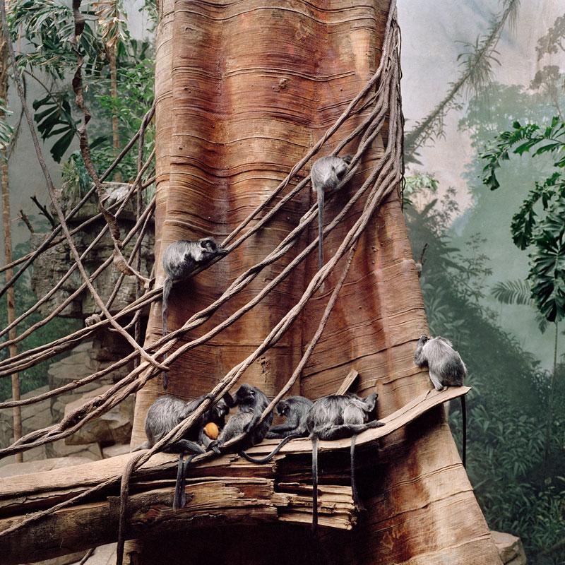 Cercopithecus Aethiopis Bronx Zoo, New York