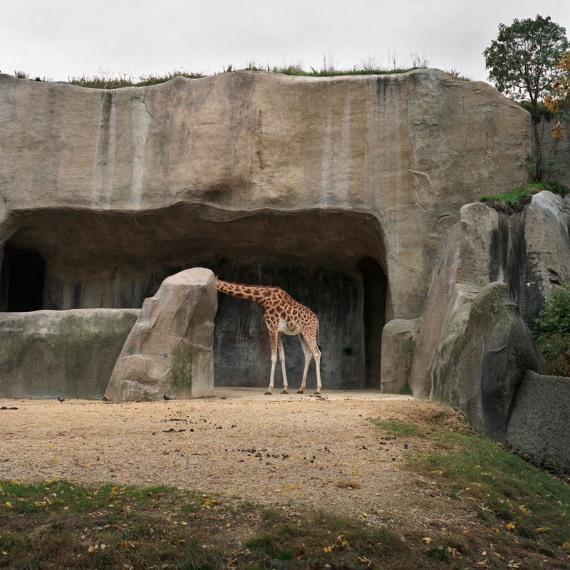 Giraffa Cameleopardalis Zoo Bois de Vincennes, Parigi