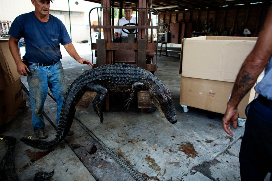 A forklift is used to lift an alligator into a cardboard storage box.