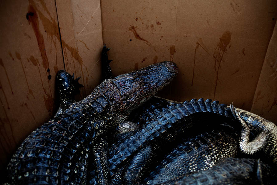 The gators are then placed in cold storage in large cardboard boxes until the hunters have run out of tags. They are then delivered to someone who skins the animals and processes the meat, returning the skins to be sold.